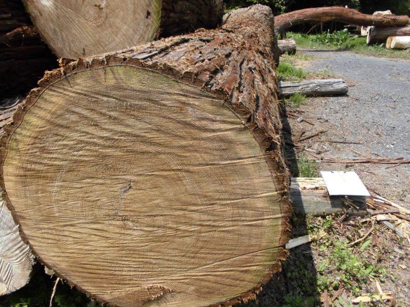 日光杉⑥ 4.8m 72cm
