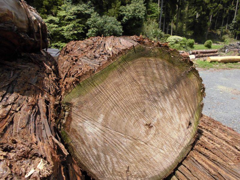 日光杉⑦ 3m 68cm
